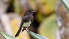 Black Phoebe (Bob Gunderson) Tags: birds blackphoebe botanicalgardens california empidonaxflycatchers flycatchers goldengatepark northerncalifornia sanfrancisco sayornisnigricans