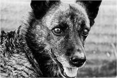 Oggi vi presento Pita (andaradagio) Tags: andaradagio bianconero bw canon dog cane miglioramicodelluomo nadiadagaro rifugioohana bandaa4zampeumbria