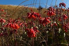 succulent summer (Jerryhattric) Tags: boulderbay taylorsmistake bankspeninsula newzealand nz panasoniclumixdmcfz200 summer