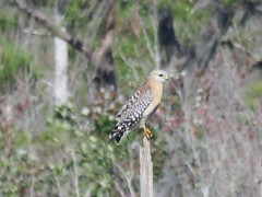 Red-shouldered Hawk (Buteo lineatus) (Gerald (Wayne) Prout) Tags: redshoulderedhawk buteolineatus animalia chordata aves falconiformes accipitriformes accipitridae buteoninae buteo lineatus lakelandhighlandsscrub cityoflakeland polkcounty florida usa prout geraldwayneprout canon canonpowershotsx60hs powershot sx60 hs digital camera photographed photography birds birdsofprey redshouldered hawk wildlife animals nature perched marsh lakeland highlands scrub trail city polk county stateofflorida boardwalk raptors
