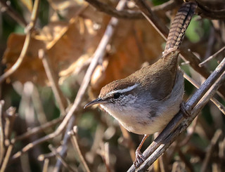Bewicks Wren  Inceville Los Liones Canyon  Los Angeles California  114 1