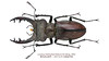 Lucanus fukinukiae Katsura & Giang, 2002 (Easyparadise) Tags: beetle collection coleoptera metal color insect nature animal scarab specimen macro entmology museum lucanidae stag biodiversity 昆虫 甲虫