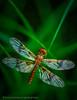 Sleeping In (lastminutephoto) Tags: slidefilm dew dewey dragonfly insect flying grass green macro