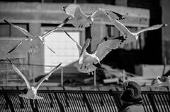 """Bird Lady of Asbury Park II"" (Photography by Sharon Farrell) Tags: birdladyofasburypark asburypark asburyparknj asburyparknewjersey jersey jerseyshore newjersey monmouthcountynj monmouthcountynewjersey blackandwhite bnw noiretblanc seagulls shorebirds"