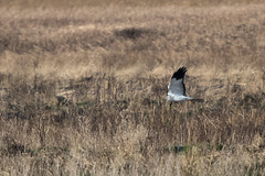 Hen Harrier (Tim Melling) Tags: circus cyaneus hen harrier male dee estuary cheshire timmelling
