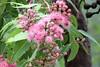 Swamp Bloodwood (Corymbia ptychocarpa) (Graham Winterflood) Tags: swampbloodwood corymbiaptychocarpa canoneos7d geo:country=australia gumtree