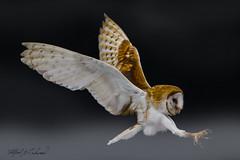 Barn Owl_T3W3035 (Alfred J. Lockwood Photography) Tags: alfredjlockwood barnowl canadianraptorconservancy crc ontario canada flight landing autumn morning