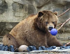 Funny face...I think he got the ball stuck on his tooth (Patti Panda) Tags: grizzlybear mikethorandboo