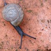 """movin on - """"less than an inch"""" (Carol (vanhookc)) Tags: lessthananinch macromondays snail slimy"""