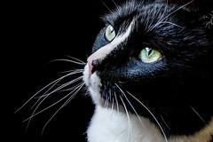 maddie closeup (wileygerald) Tags: cat closeup maddie