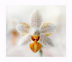 The Little one (Krasne oci) Tags: flower flowerart macro macrophotography evabartos nature gardening orchid artphotography photographicart