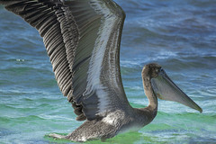 pelican fishing (ikarusmedia) Tags: blue turquoise water wave pelican closeup zoom wings bird beak fishing animal wild life sea cortes gulf baja california sur mexico loreto national park coronado island bay