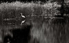 Great Egret redux (vbd) Tags: pentax k3 vbd smcpentaxda55300mmf458ed ct connecticut bird newengland trumbull greategret bw blackandwhite monochrome park twinbrookspark water pond 2014 summer2014