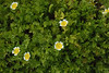 jdy107XX20170417a4794Bias-0.7 stops.jpg (rachelgreenbelt) Tags: devon eudicots england arlingtonhouse orderbrassicales rosids familylimnanthaceae limnanthesdouglasiiwhiteedgeyellowcenter europe uk colorwhiteandyellow greatbritain magnoliophyta unitedkingdom floweringplants limnanthesdouglasii mixedcolors multiplecolors oneplant singleplantportrait spermatophytes