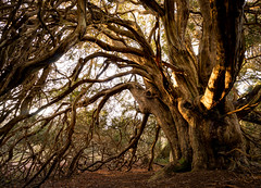 Tree Portraits | Kingley Vale Ancient Yew (Jenny.Lawrence) Tags: nature trees tree ancient yew yews kingley vale photography wideangle wide forest woods woodland portrait sony 1635mm zeiss