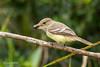 Galapagos Flycatcher D85_1410.jpg (Mobile Lynn) Tags: birds galapagosflycatcher wild flycatcher nature bird fauna largebilledflycatcher muscicapidae myiarchusmagnirostris wildlife santacruzisland galapagosislands ecuador ec coth coth5 ngc npc