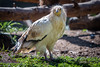 Egyptian Vulture (Susan.Johnston) Tags: sdzsafaripark california egyptianvulture sandiegozoosafaripark vulture whitescavengervulture