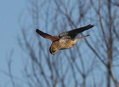 Common Kestrel (Falco tinnunculus) hovering against the wind (Paul Cottis) Tags: paulcottis raptor bird kestrel falcon 16 jan 2018 welney norfolk hunt