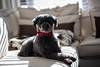 Monsieur Nano - EXPLORE (www.sophiethibault.ca) Tags: nano janvier chien canada caniche québec 2018 animal poodle dog perros