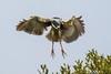Black-Crowned Night-Heron Landing (dbadair) Tags: outdoor seaside shore sea sky water nature wildlife 7dm2 ocean canon florida bird bif flight