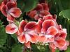 Pretty Pelagonium! ('cosmicgirl1960' NEW CANON CAMERA) Tags: ojen spain espana andalusia costadelsol nature parks gardens green yabbadabbadoo travel holidays
