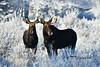 Two Moose DSC_6030 (Ron Kube Photography) Tags: alberta canada moose fauna nature animal mammal southernalberta nikon nikond500 d500 ronaldok alcesalces ronkubephotography