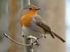 Robin (ukstormchaser (A.k.a The Bug Whisperer)) Tags: robin robins uk birds animal animals perched wildlife woods woodland milton keynes january tree trees