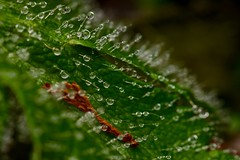 Speckled (AngharadW) Tags: poppyleaf drizzle glawman waterdrops speckled angharadw monday macro macromonday