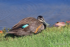 Pacific Black Duck - preening (0544) (Oz Nature Shots) Tags: pacificblackduck duck ducks pacific black bird birds wader large waterfowl chestnut dabbling australia birdlife emmysilvius emmy silvius oznatureshots fauna nature wings bill white green brown grey buff rocks victoria vic southaustralia sa water wetlands river bay feathers anassuperciliosa preening flight flying stripe