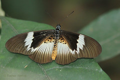 IMG_5187 Acraea umbra carpenteri ♀ (supposedly) (Raiwen) Tags: butterflies lepidoptera nymphalidae heliconiinae acraeini acraea acraeamacaria africa westafrica guinea bematistesmacaria acraeaumbracarpenteri bematistesumbracarpenteri