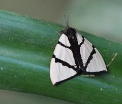 Noctuoidea, Numenes sp (Phil Arachno) Tags: thailand chiangdao asien asia insecta lepidoptera arthropoda schmetterling noctuoidea
