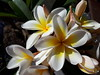 Summer Blooms (scinta1) Tags: frangipani white yellow petals tropical jepun creamy flower sprig spray light shadow saveearth