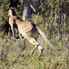 EASTERN GREY KANGAROO (16th man) Tags: toowoomba westbrook canon eos eos5dmkiii kangaroo easterngreykangaroo mtpeelmt peek bushland reservemt peel park qld queensland australia