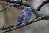 Just after the rain (Franck Zumella) Tags: animal bird oiseau pigeon nature wildlife vie sauvage branch branche tree arbre rain wet mouillé pluie sony a7s