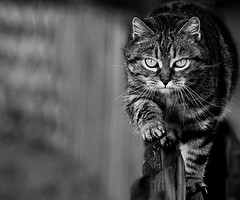 Cat's concentration (Zèè) Tags: cat chat cats tabby tiggy black bw blackandwhite white noir noirblanc normandy nature