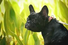 Sweet Sansa. (vicentefreitas) Tags: dogs pets pug nikon
