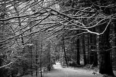 Schnee auf den Ästen (monochrom) (Helmut Reichelt) Tags: bw sw waldwinter wald winter verschneit schnee dezember januar geretsried bayern bavaria deutschland germany leica leicam typ240 captureone11 silverefexpro2 leicasummilux35mmf14asphii