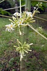 WOL Calauan Laguna Philippines Day 2 (259) (Beadmanhere) Tags: philippines flowers