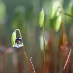 the raindrop (bugman11) Tags: rain drop drops droplet droplets water moss canon 50mm18stm macro nature thenetherlands nederland haarlem bokeh green flora 1001nights 1001nightsmagiccity 1001nightsmagicgarden platinumheartaward