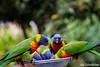 Currumbin Wildlife Sanctuary (lukesciacchitano) Tags: lorikeets birds cool currumbin wildlife sanctuary