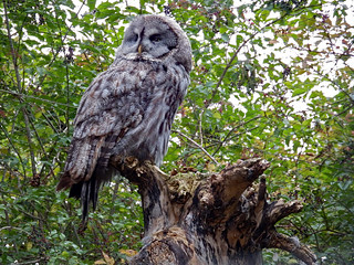 Beale Park (2017) Great grey owl