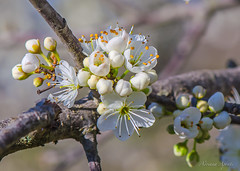 13 febbraio 2018. Segnali di primavera. Signs of spring (adrianaaprati) Tags: flowers flowering buds hawthorn branches tree park nature blur white outdoors blooming