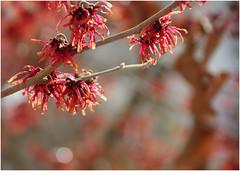 Freitagsblümchen : Zaubernuss 'Jelena' (ღ eulenbilder - berti ღ) Tags: zaubernuss blüten winterblüher jelena hamamelisintermediajelena