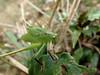 Unknown Katydid (Ahmad Fuad Morad) Tags: katydid bushcricket orthoptera tettigoniidae