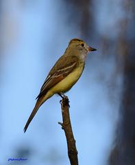 Great Crested Flycatcher (Gatorgirl51) Tags: flycatcher bird nikon