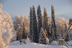 Wintry trees (irio.jyske) Tags: birch pinetree spruce winter freeze frost cold snow ice naturephotograph naturepictures naturepic naturephoto naturescape nature naturephotos landscape landscapephotograph lanscape landscapepic afternoon sky sun sunny canoncamera canonlens canon canonphoto canonpic canonphotograph canonpictures