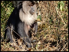 Lion tailed macaque (Indianature st2i) Tags: ltm macacasilenus liontailedmonkey liontailedmacaque liontailedmonkeyinthewild wildlife valparaiwildlife valparai anamalais anamallais anamalaitigerreserve westernghats tea shola rainforest nature indianature 2018 january february tamilnadu india life plantation forest people estate
