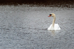Mute Swan On A Pond (jwfuqua-photography) Tags: geeseandswans nature waterfowl pennsylvania jerrywfuqua muteswan peacevalleynaturecenter buckscountyparks buckscounty jwfuquaphotography