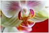 蝴蝶蘭   Butterfly orchid (Phalaenopsis) (Alice 2018) Tags: phalaenopsis hongkong flower 2018 orchids orchid canon canoneos7d eos7d bokeh manuallens industar industar61lz50mmf28 m42 efmount adaptor spring aatvl01 aatvl02