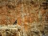 20160821_53 Western bluebird (Sialia mexicana) on the edge of Bryce Canyon, Utah (ratexla) Tags: ratexlasgreentortoisetrip2016 nonhumananimals dinosaur ratexlascanyonsofthewesttrip2016 greentortoise canyonsofthewest 21aug2016 2016 canonpowershotsx50hs bryce brycecanyon utah usa theus unitedstates theunitedstates america northamerica nordamerika earth tellus photophotospicturepicturesimageimagesfotofotonbildbilder wanderlust travel travelling traveling journey vacation holiday semester resaresor ontheroad hiking hike sommar summer beautiful nature wildlife animals cute cool biology zoology djur bird birds fågel fåglar ornithology wild vild vilda life organism nonhumananimal animal dinosaurs dinosaurie dinosaurier blue feather feathers blå fjäder fjädrar bokeh favorite westernbluebird sialiamexicana